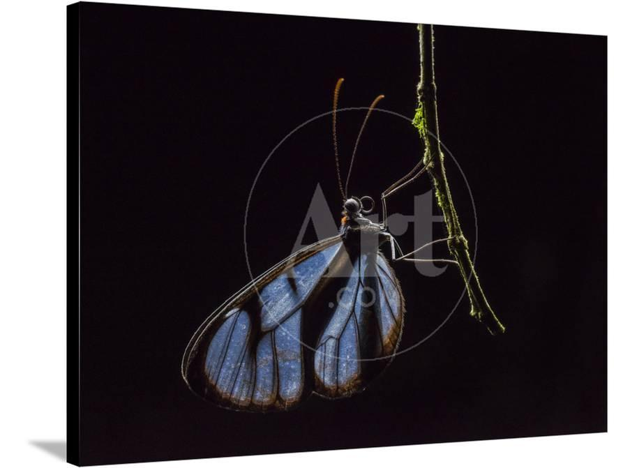 Glass Wing Butterfly Ithomidae Sleeping On A Branch At Night