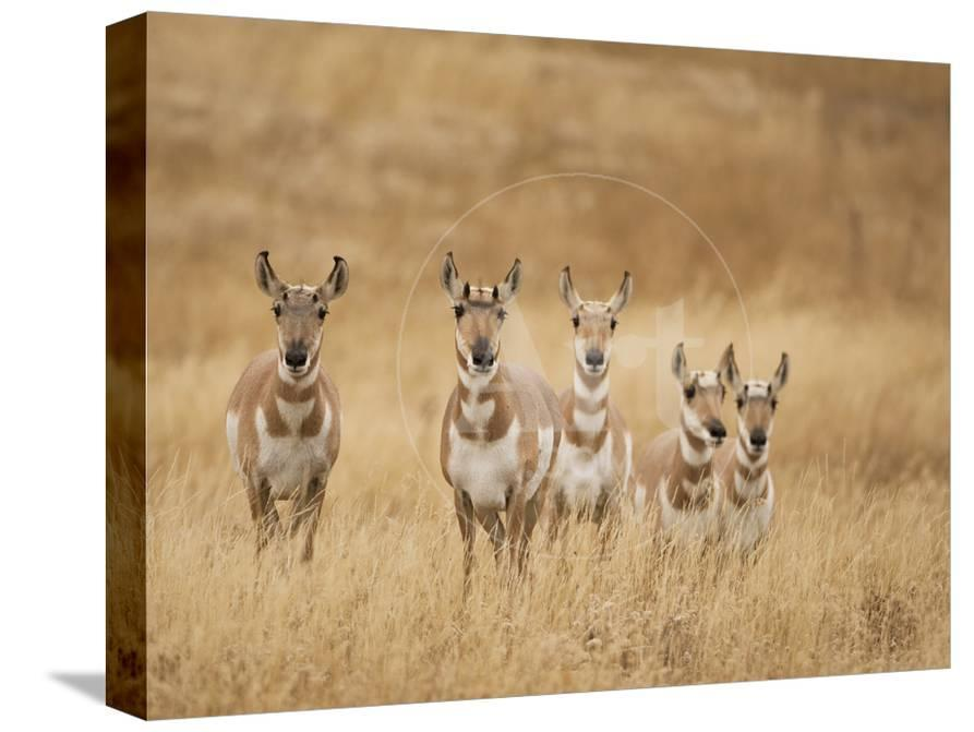 Pronghorn (Antilocapra Americana) Group Standing in a Field in Yellowstone  National Park, USA