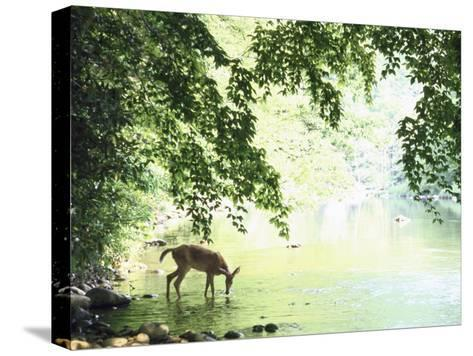 Deer Drinking Vintage Art POSTER Wild Life National Parks