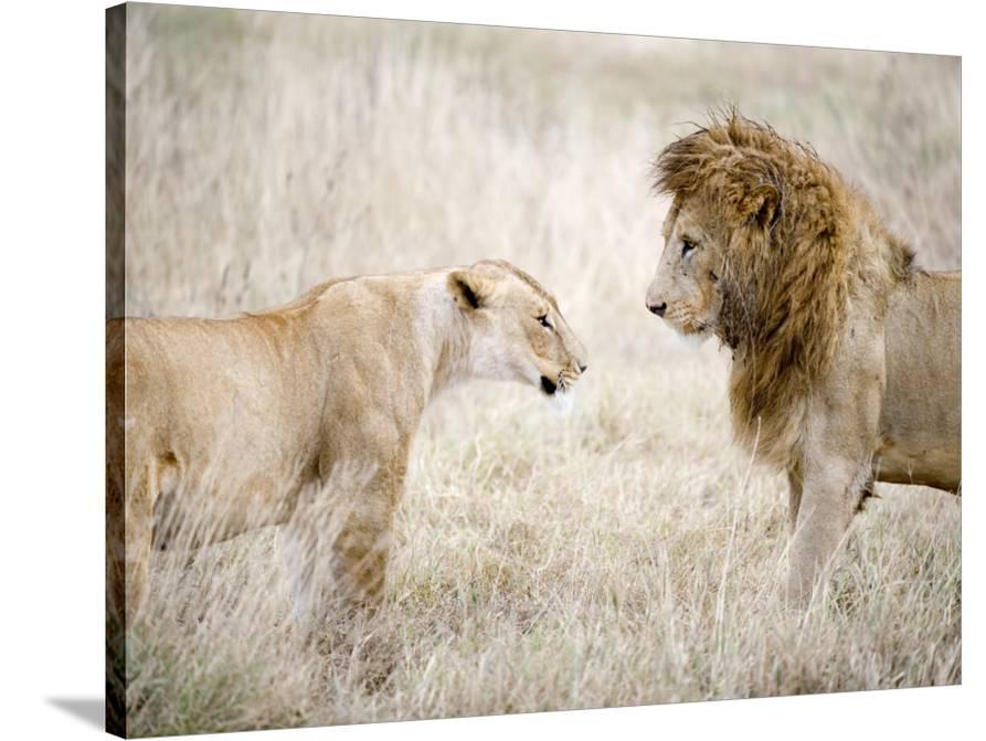 Lion and a Lioness Standing Face to Face in a Forest, Ngorongoro ...