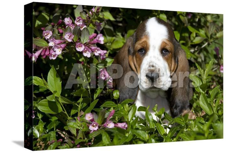 Basset Hound Pup In Flowers Burlington Wisconsin Usa Photographic