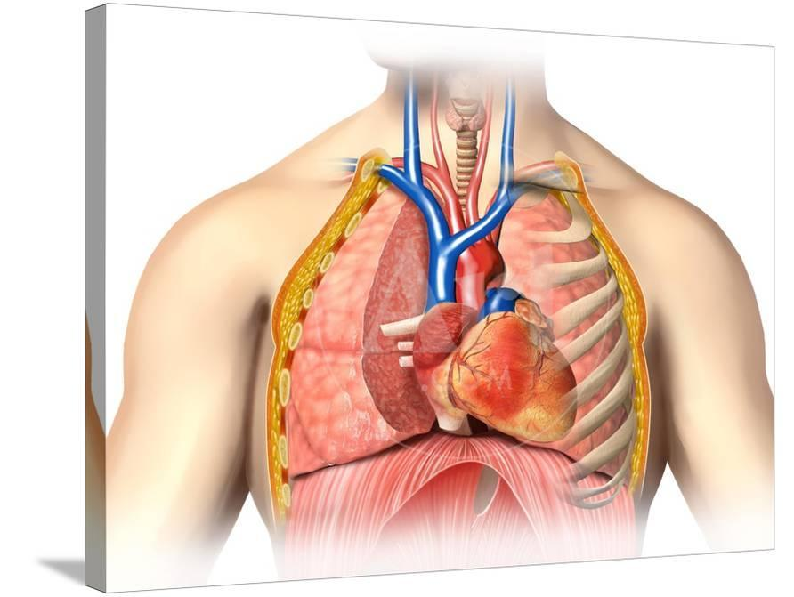 Male Chest Anatomy Of Thorax With Heart Veins Arteries And Lungs