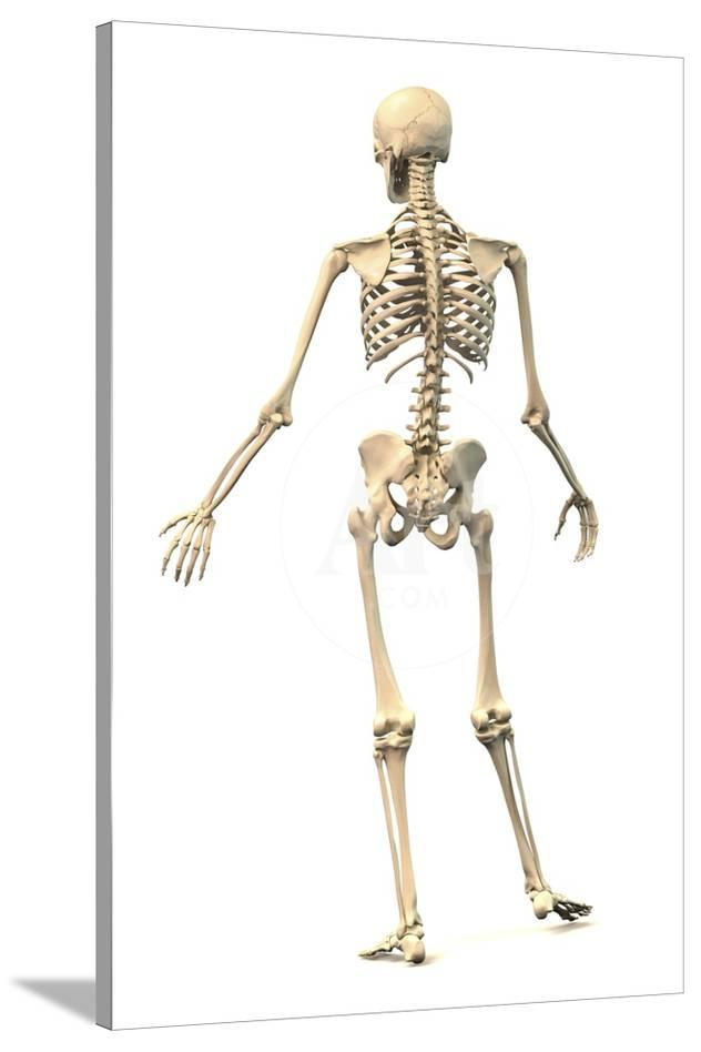 Male Human Skeleton In Dynamic Posture Rear View Posters At