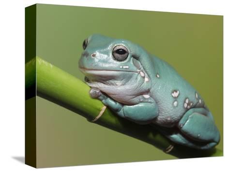 "Poster 24/"" x 36/"" Beautiful Tree Frog"