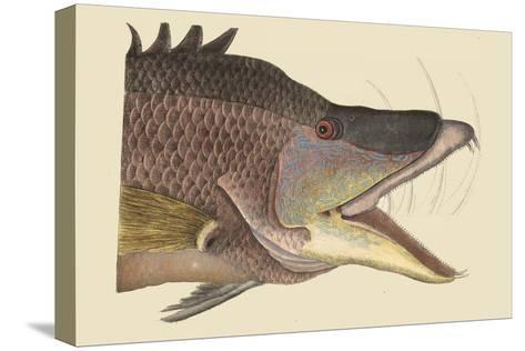 Great Hog Fish Reproducción de lámina sobre lienzo