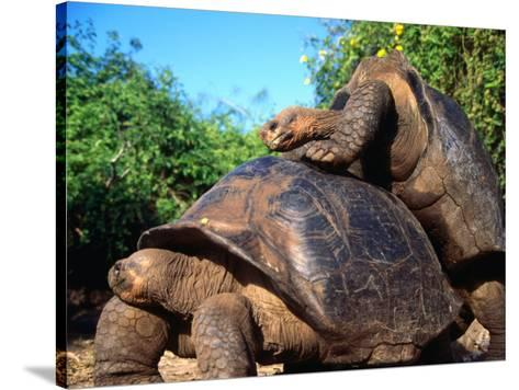 Galapagos Tortoise Abstract Art