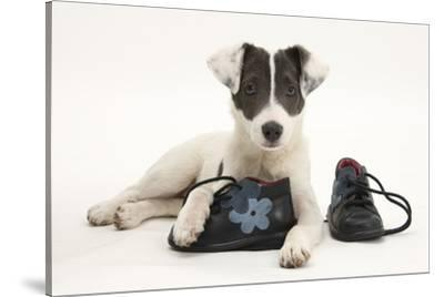 Blue-And-White Jack Russell Terrier Puppy, Scamp, with Child's Shoes