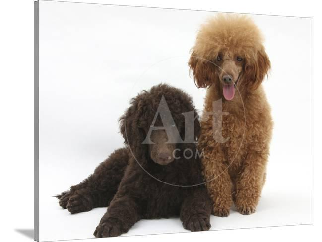 Chocolate Standard Poodle Puppy Tara 8 Weeks With Adult Red Toy