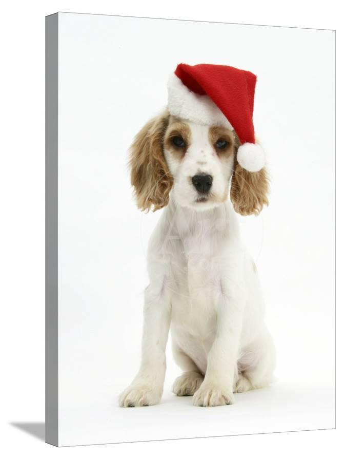 Orange Roan Cocker Spaniel Puppy, Blossom, Wearing Father Christmas Hat