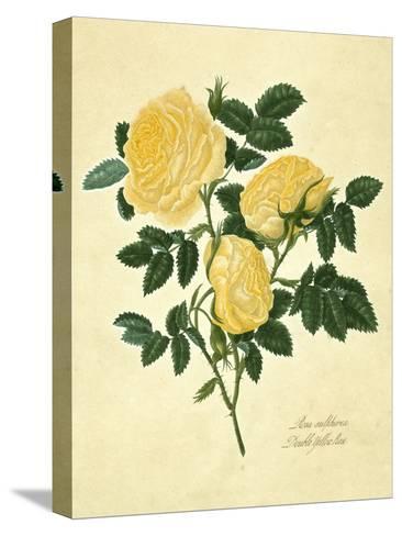 Double Yellow Rose Reproducción de lámina sobre lienzo