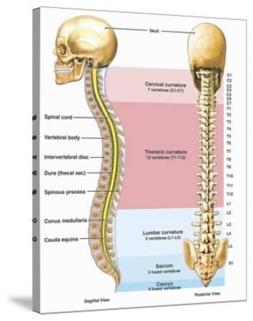 Illustration of the Anatomy of the Human Spine or Vertebral Column ...
