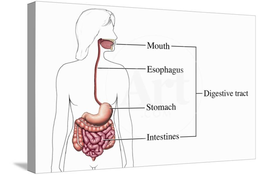 Illustration Of The Human Digestive System From An Anterior Front
