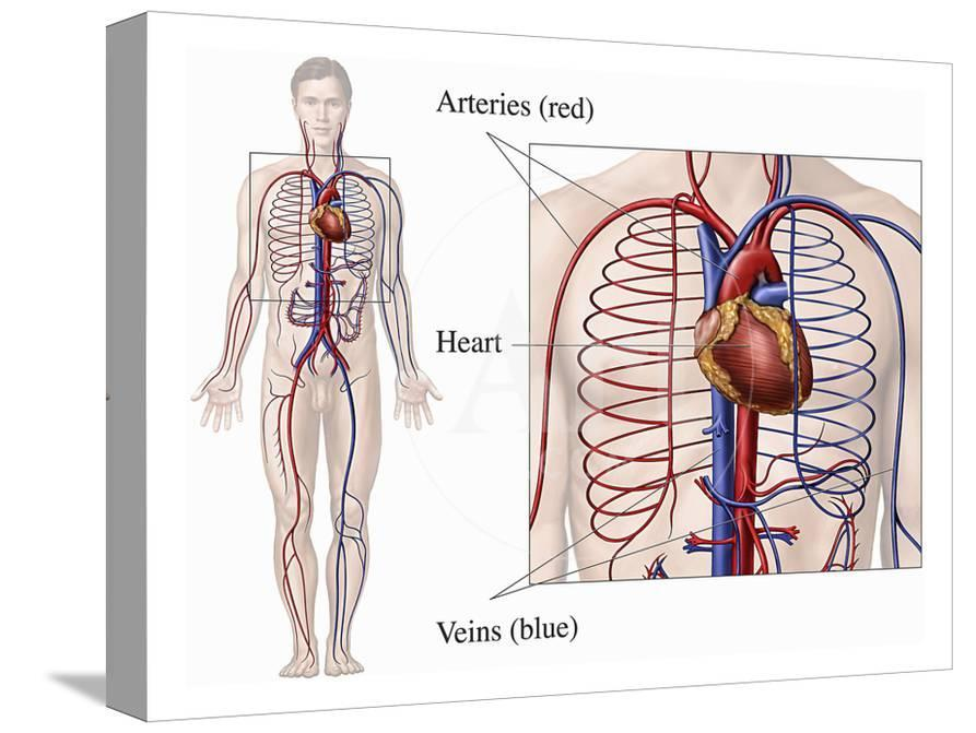 Illustration Of The Primary Circulatory System Anatomy Within A Male