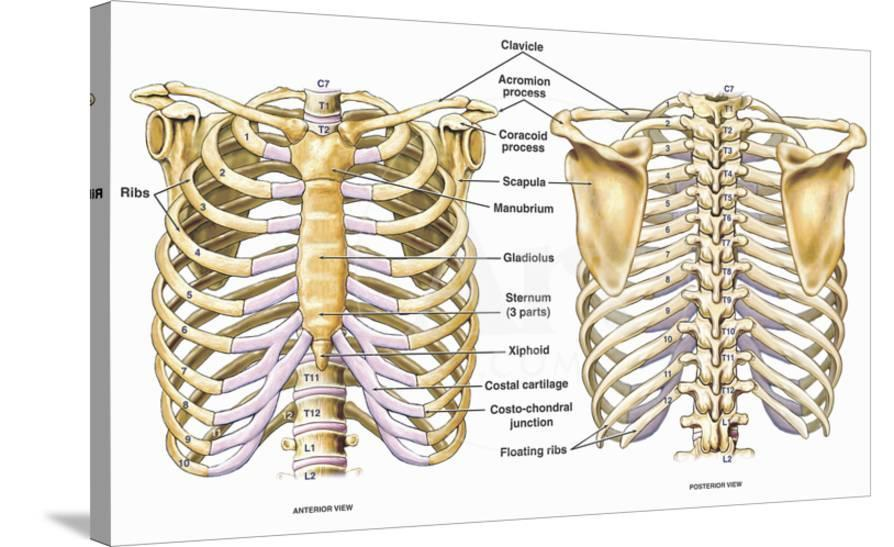 Illustration Of The Thoracic Chest And Back Skeletal Anatomy