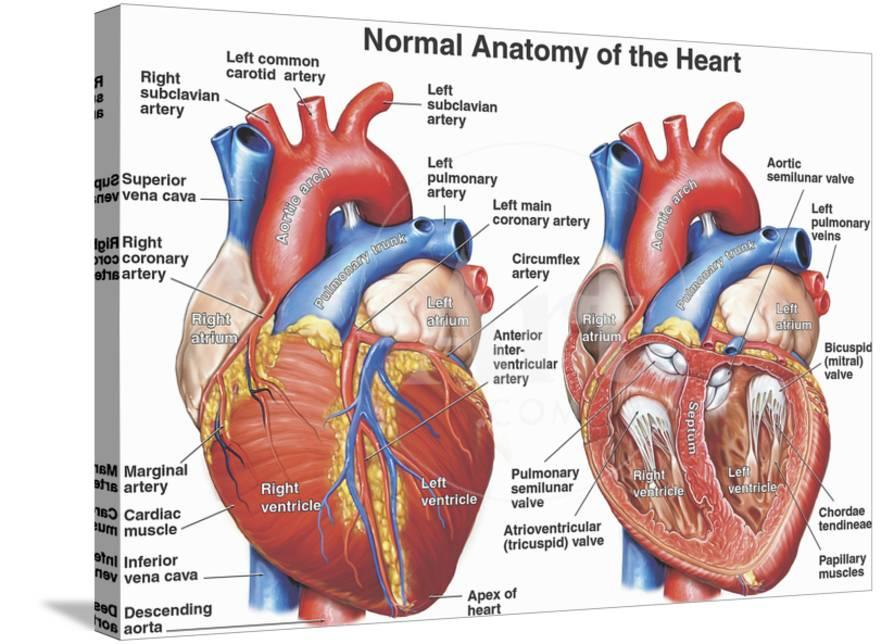 Normal Anatomy Of The Human Heart Giclee Print By Nucleus Medical