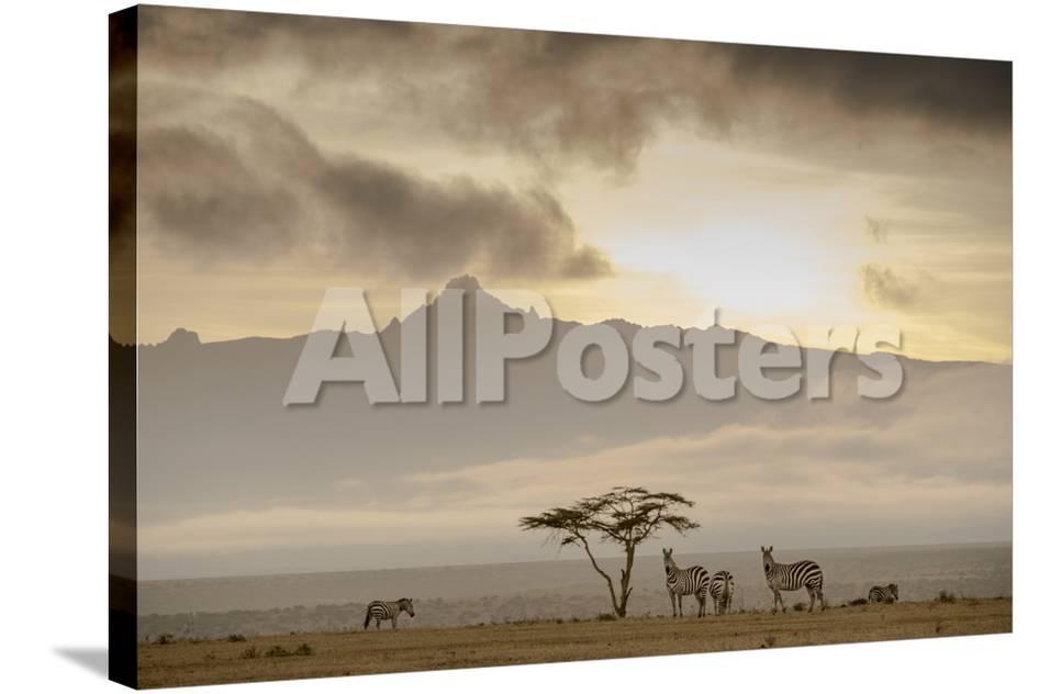 A Group of Plains Zebra, Equus Quagga, Gather Near an Acacia Tree at Sunset