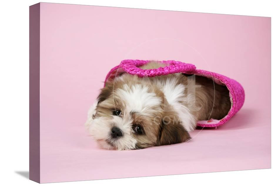 Shih Tzu 10 Week Old Puppy In Shopping Bag Photographic Print At