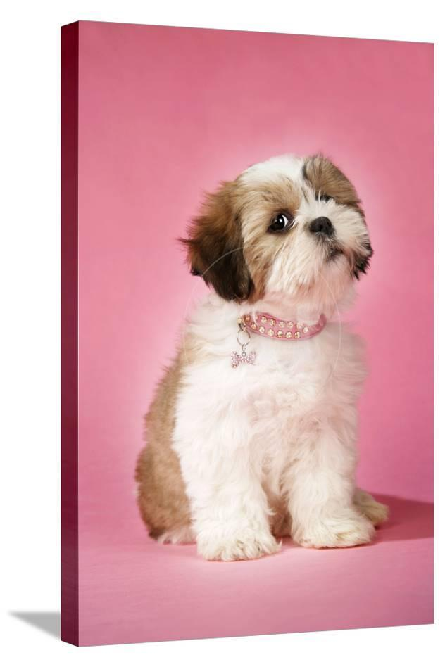Shih Tzu 10 Week Old Puppy With Collar Photographic Print At