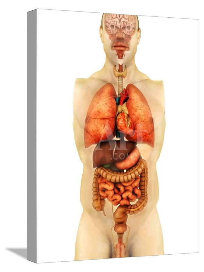 Anatomy Of Human Body Showing Whole Organs Front View Photographic