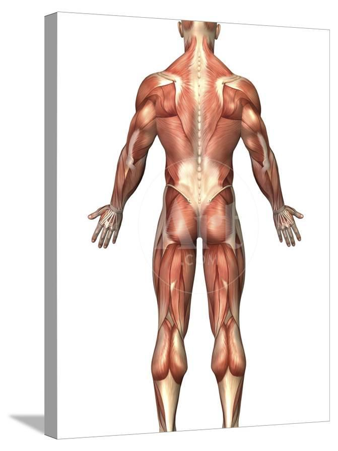 Anatomy Of Male Muscular System Back View Photographic Print By