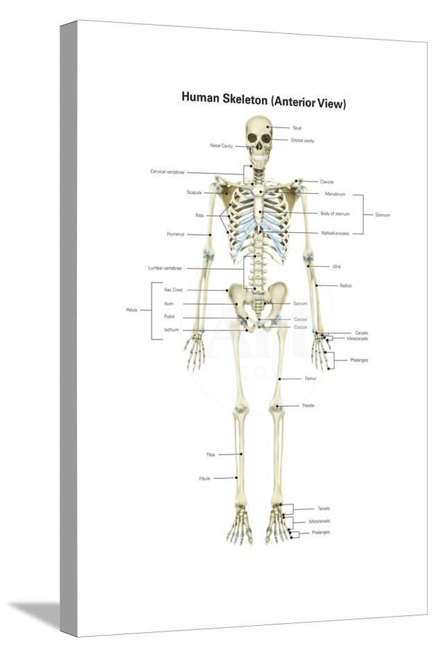 Anterior View Of Human Skeletal System With Labels Poster By