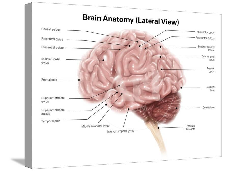 Human Brain Anatomy Lateral View Print By Stocktrek Images At