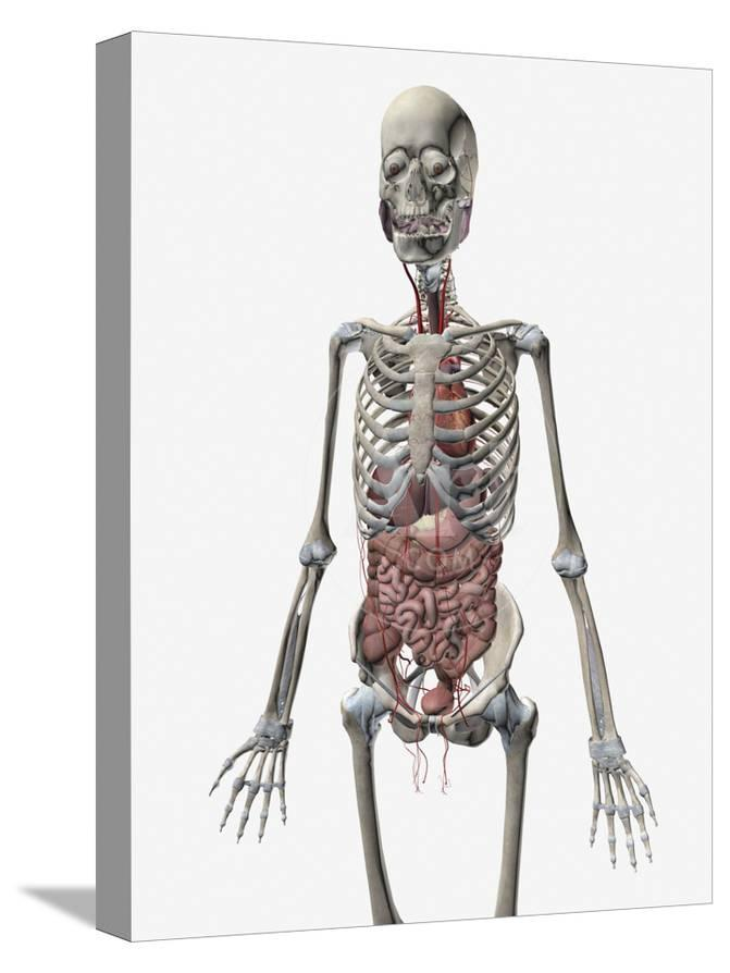 Human Skeletal System With Organs Of The Digestive System Visible