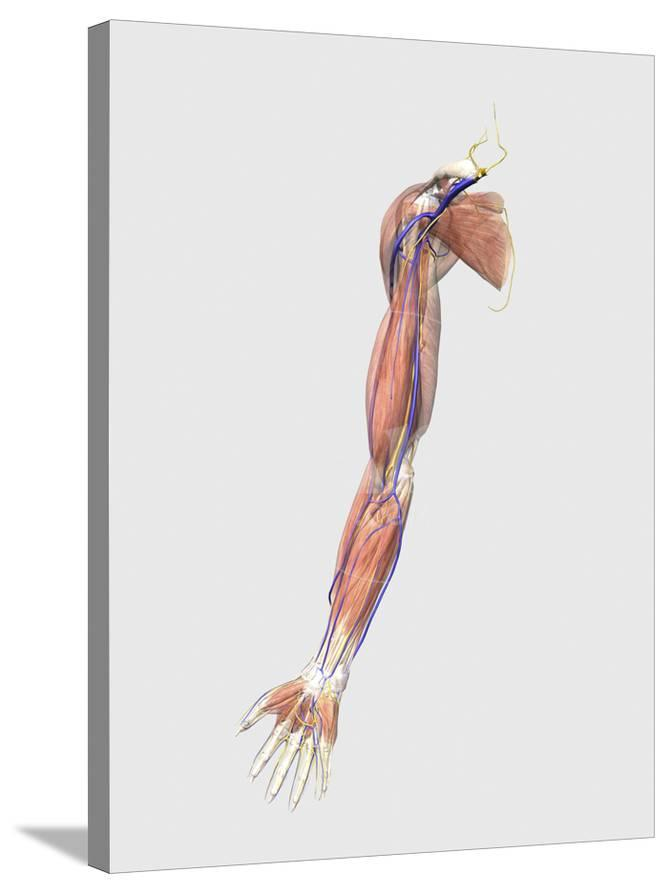 Medical Illustration Of Human Arm Muscles Veins And Nerves Prints