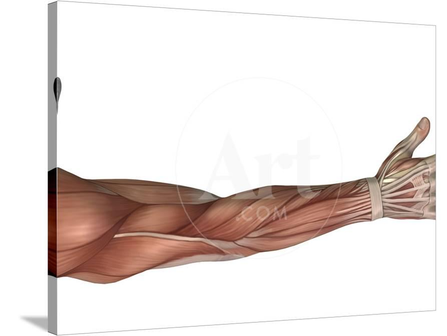 Muscle Anatomy Of The Human Arm Posterior View Photographic Print