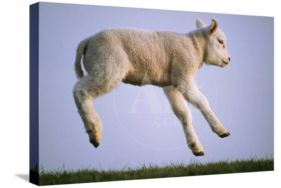 Texel Sheep Lamb Jumping, Airbourne, Side View
