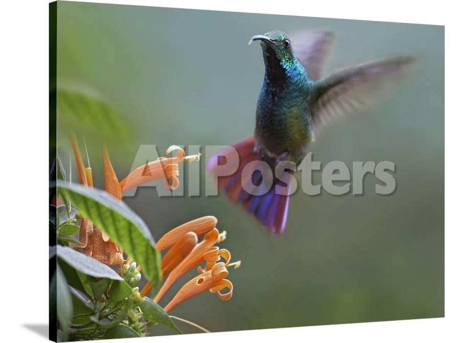 Green Breasted Mango Hummingbird At Flame Vine Costa Rica Photographic Print Tim Fitzharris Allposters Com