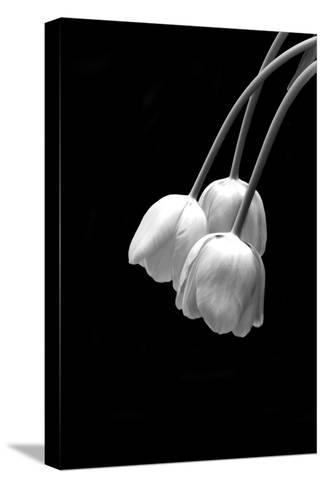 Beautiful Black and White Image of Fresh Spring Tulips on Black Background with Copy Space Stretched Canvas Print
