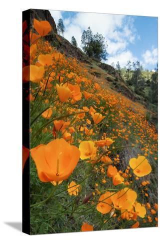 Spring Poppy Hillside, Merced Pingotettu canvasvedos
