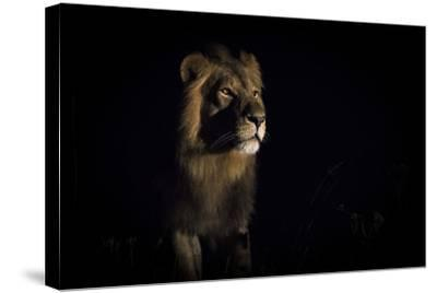 25d9a137a0 Lion (Panthera Leo) Male in Darkness