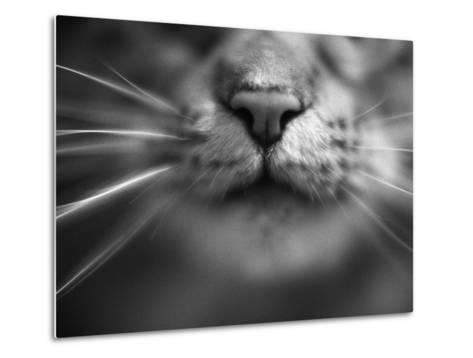 Cat's Nose and Whiskers Art sur métal