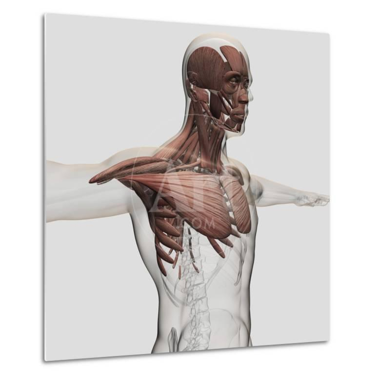 Anatomy Of Male Muscles In Upper Body Anterior View Print At
