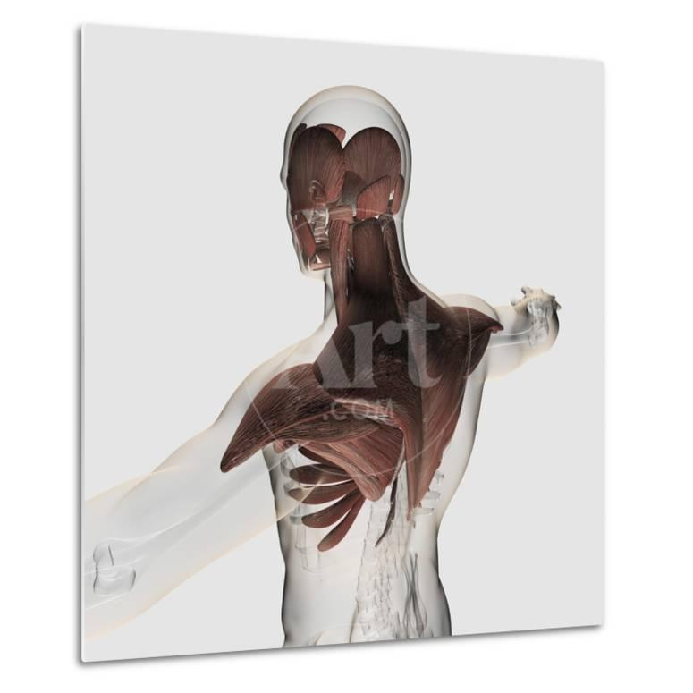 Anatomy Of Male Muscles In Upper Body Posterior View Prints At