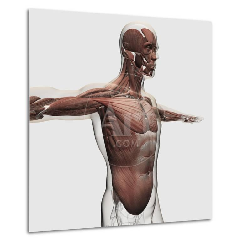 Anatomy Of Male Muscles In Upper Body Side View Posters At