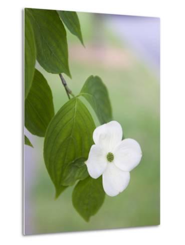 A Single White Dogwood Flower in the Virginia Highlands Neighborhood Metal Print