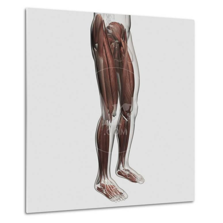 Male Muscle Anatomy Of The Human Legs Anterior View Posters At