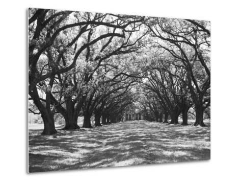 Arched Path of Trees on Plantation Site Metal Print