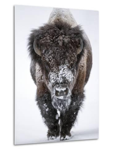 Portrait of an Snow-Dusted American Bison, Bison Bison Metal Print