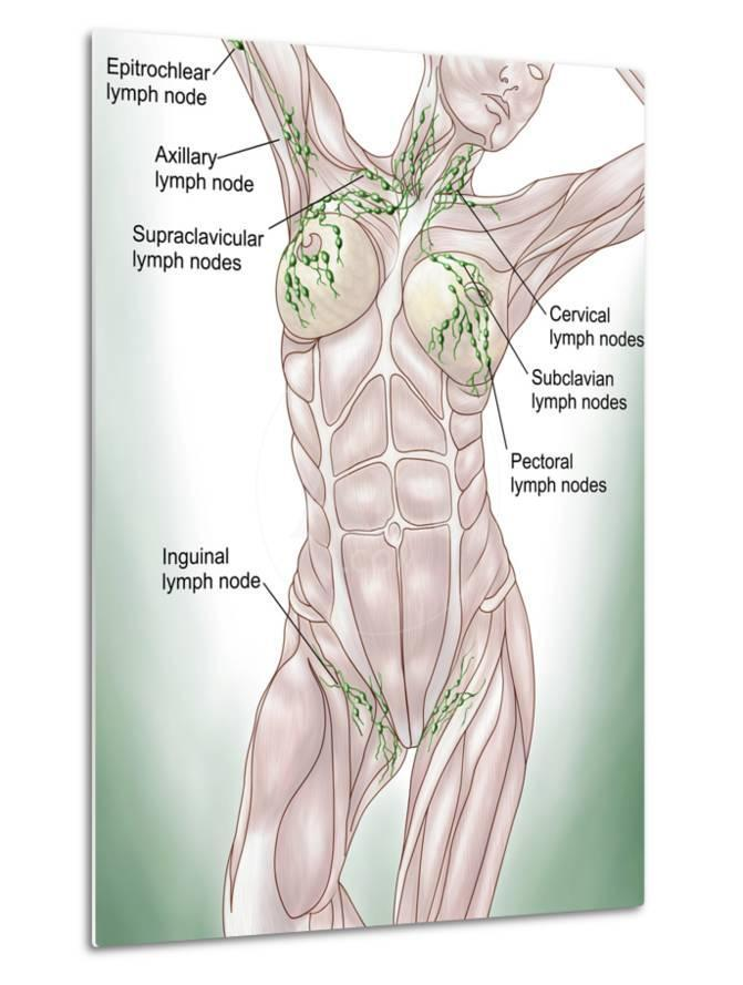 Anatomy Of Superficial Surface Lymphatics Photographic Print By