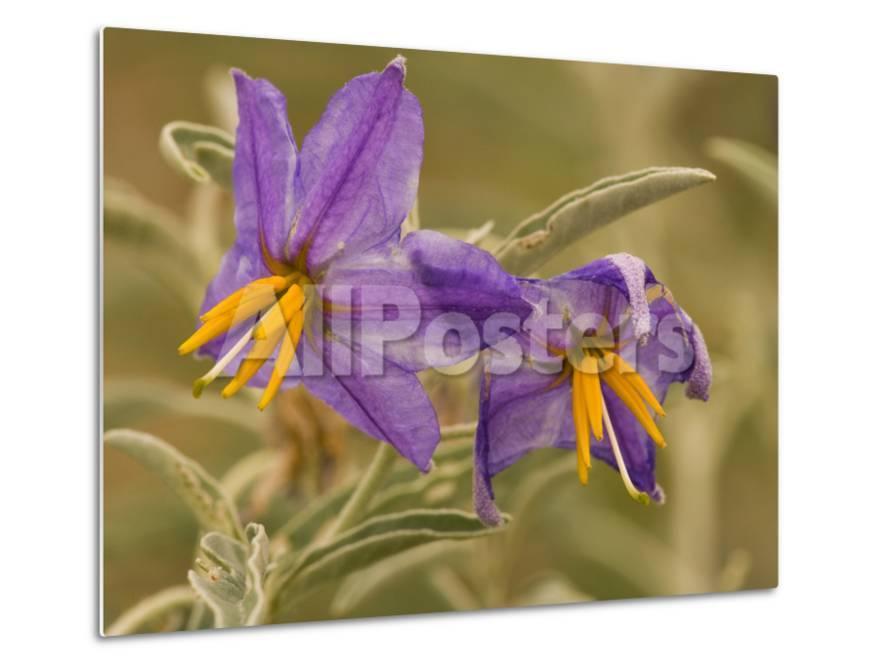Purple Nightshade Solanum Xanti Poisonous Desert Wildflower Santa