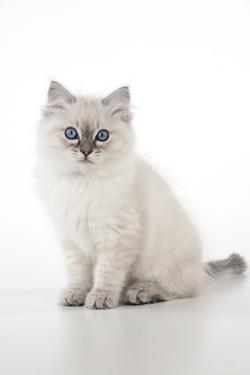 10 Week Old Ragdoll Kitten