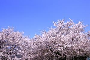 Cherry Blossoms and Sky by 12kagetu/Aflo
