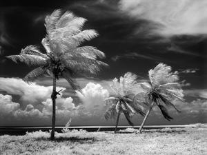 1960s Infrared Scenic Photograph of Tropical Palm Trees Blowing in Storm Florida Keys