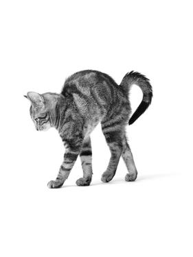 1960s Side View of Kitten Stretching Out with Arched Back