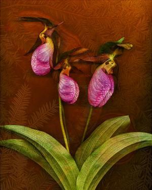 3 Ladyslippers with Hemlock