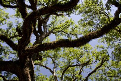 https://imgc.allpostersimages.com/img/posters/300-year-old-oak-tree-vacherie-new-orleans-louisiana-usa_u-L-PN70O70.jpg?p=0